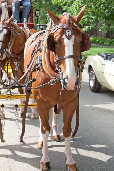 dray horse