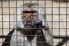 Baboon in custody