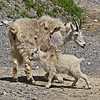 Mountain Goat near Jasper