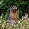 Columbia Groun Squirrel at Lake Louise.  Prairie Dog size!