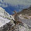 White-tailed Ptarmigan hen at Whistler's Mountain near Jasper