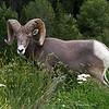 Rams Horn Sheep near Golden Canada