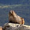 Hoary Marmot on Whistler's Mountain near Jasper