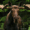 Moose near Canmore Canada
