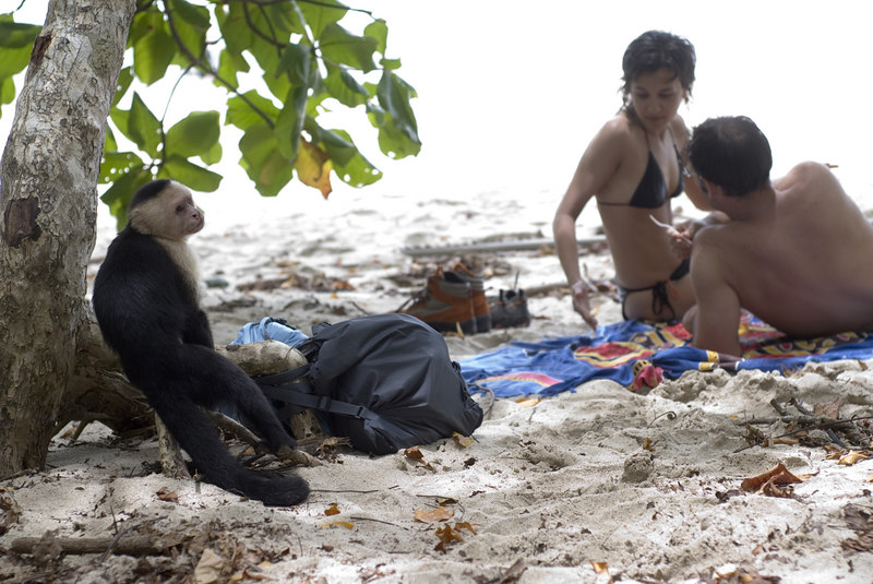 A Capuchin (also known as white faced) monkey in Manuel Antonio Park in Costa Rica, Central America. This capuchin monkey is trying to steal food from a tourist on the white sandy beach. Costa Rican Wildlife photographed by a professional wildlife and nature photographer named Christina Craft.