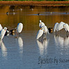 A relaxing afternoon for the Great White Egrets, in Gilbert, AZ.