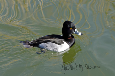 Ring-necked Duck - typically migrate to Central America for the winter - so perhaps the Gilbert Riparian marsh was a stop-over for him.