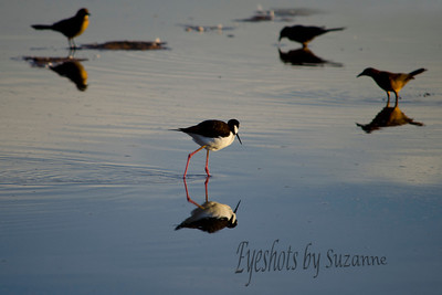 Reflection of the Black-necked Stilt.  A common shore bird, many come to the Gilbert Riparian Institute for the winter.  I love these cute little birds!