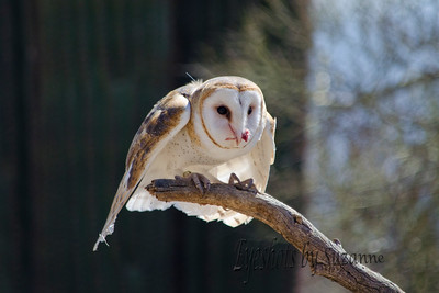 The Barn Owl AZ Sonora Desert Museum - Raptor Free Flight Love this face - was actually quiet while eating Fantastic bird!