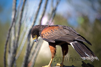 The Harris Hawk AZ Sonora Desert Museum My first photography attempt at the Raptor Free Flight!  What an amazing experience, and extremely challenging to capture these birds on camera!   I'm hooked and will need to go back!