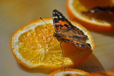 The Painted Lady Butterfly   Desert Botanical Gardens  Phoenix, AZ  Who would guess butterflies love oranges!