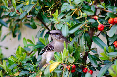 Clever Mockingbird  Finally was able to get a photo when he hopped down to the pyracantha bush.  But could't get a shot of him with the berry in his mouth.  Will need to try another feeding time