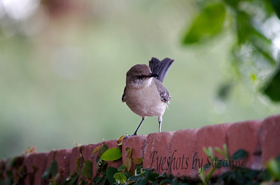The Mockingbird  Was trying to catch this little guy eating the berries on our pyracantha bush.    I followed Rick's suggestion to focus on the eyes and I am pretty happy with the outcome!