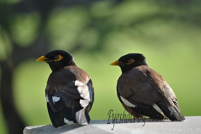 Mynah Birds  - These birds are beautiful and noisy.  Caught them sitting on our balcony in the early morning.  Very plentiful on the Big Island of Hawai'i.