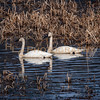 HLC_1951 two tundra (whistling) swans