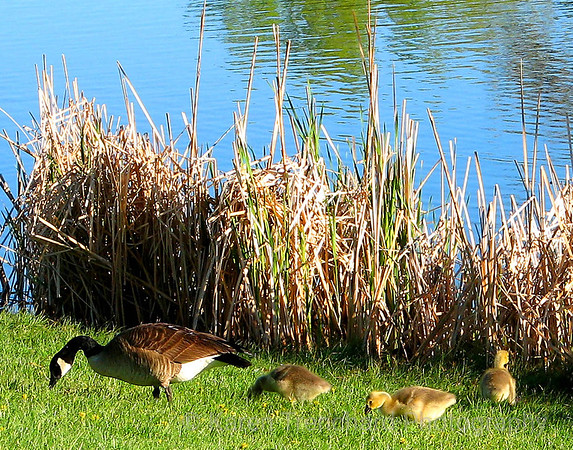 Momma Goose and Goslings