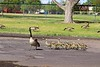 Sprintgime in Garland Park, Denver, Mama Goose and goslings