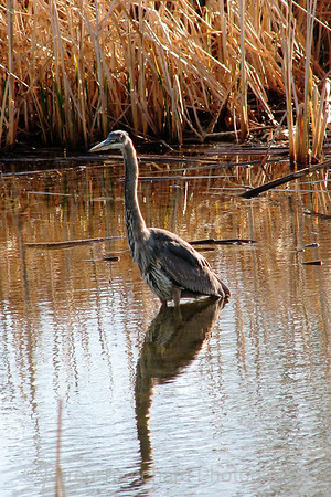 Great Blue Heron in Denver Park Lake