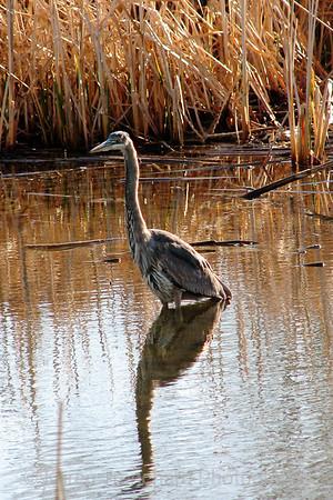 Great Blue Heron in Denver Park Lake