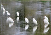 Snowy Egrets on Like