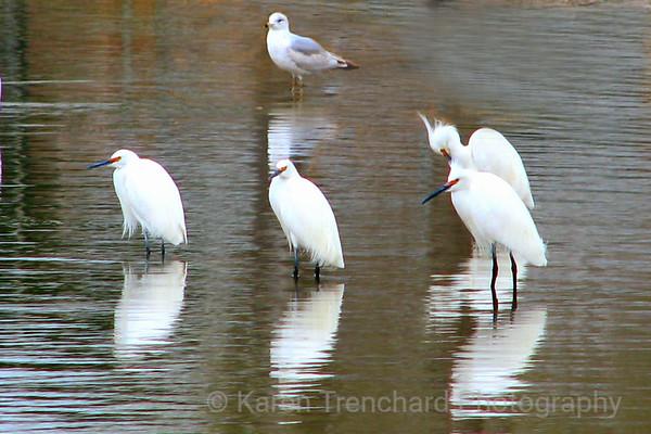 Snowy Egrets Come to Denver