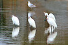 Snowy Egrets Come to Denver
