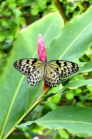 Rice Paper Butterfly, Butterfly Pavillion, idea leuconoe