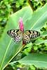 Rice Paper Butterfly, Butterfly Pavillion, idea leuconoe