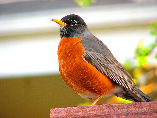 Urban Wildlife Robin