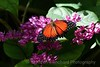 Orange and Black Butterfly, Butterfly Pavillion,heliconius hecale