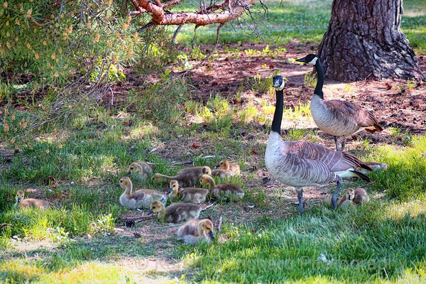 Momma and Pappa Goose and Goslings