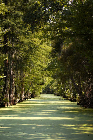 Cypress Alley  This was a beautiful stretch in the myriad of natural canals called Bayous. This was an are where a little sunlight penetrated the swamp and lit this long straight nicely. We explored miles and miles of these. It would be very easy to get lost in the swamp if you missed a turn...