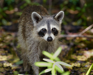 We were happily surprised to see the local wildlife didn't seem to have any fear of us as we moved through the bayou.  This is one of the Raccoons that lived in the bayou.  A typical raccoon similar to what we have in North Alabama.