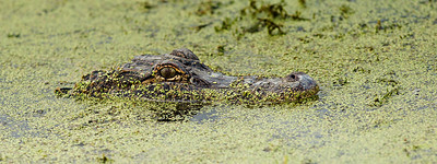 "A ""medium"" sized alligator by Bayou Black standards, this 8' alligator popped up practically in front of our lenses."