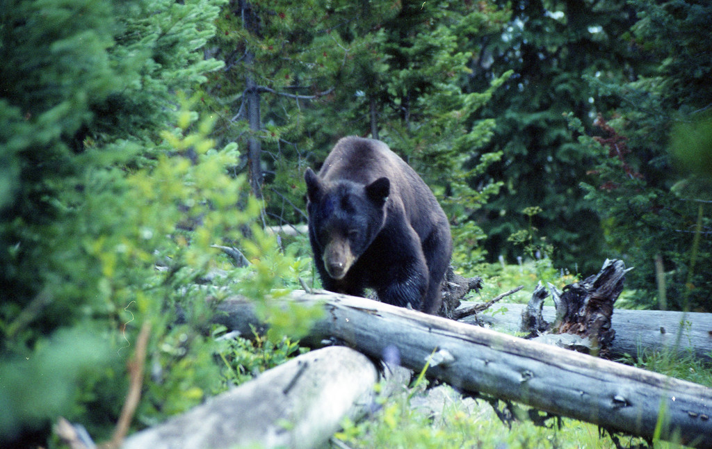 Black Bear near Lizard Creek campground, Grand Teton NP, WY<br /> <br /> © Kirk Sagers