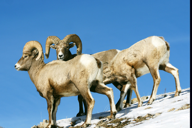 Two rams and a ewe forage through the snow.  Lamar Valley, Yellowstone NP, WY<br /> <br /> © Kirk Sagers