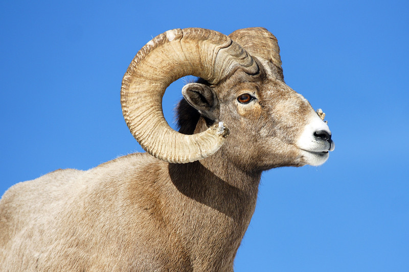 A mountain bighorn ram, Lamar Valley, Yellowstone NP, WY<br /> <br /> © Kirk Sagers