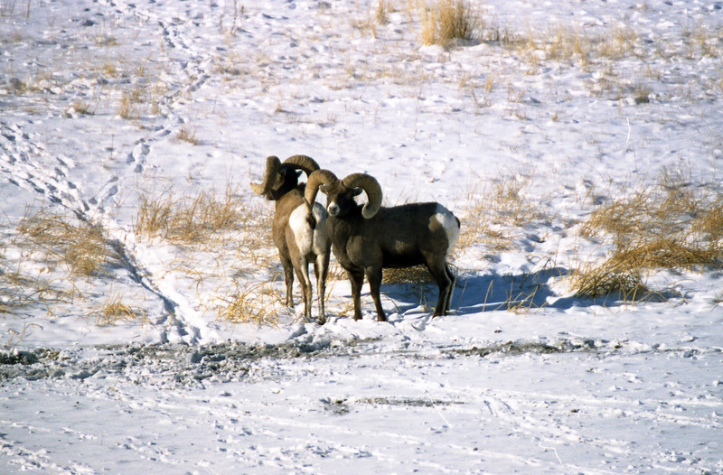 A couple Bighorn Sheep Rams foraging through the snow.  near Gardiner, MT<br /> <br /> © Kirk Sagers