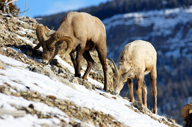 Mountain Bighorn Sheep grazing on a rocky slope.  Lamar Valley, Yellowstone NP, WY<br /> <br /> © Kirk Sagers