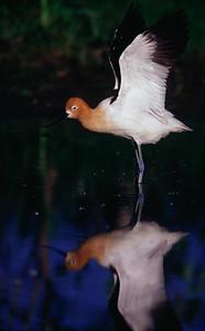 American Avocet mating display.