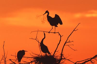 Great Blue Heron nestbuilding courtship display