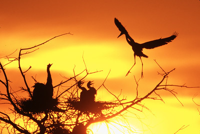 Great Blue Heron in silhouette makes a delicate landing as it returns to heronry just after sunrise  to feed offspring. Backdrop for photo is a spectacular orange and yellow sky