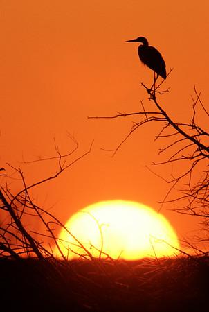 Great Blue heron basks in the rising sun