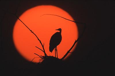 Great Blue heron in shilouette against fiery rising sun