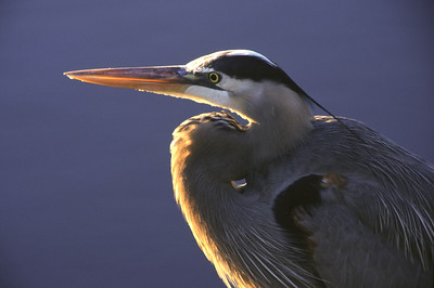 Great Blue heron with golden rim of color from setting sun