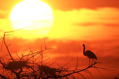 Great Blue Heron in silhouette at heronry looking over empty nest with bright Sun and orange and yellow clouds