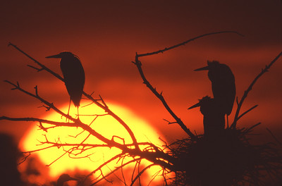 Great Blue herons await sunrise