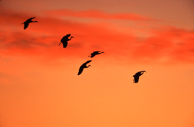 Formation of Sandhill cranes in silhouette gliding to a landing against an orange sunset sky at Bosque del Apache National Wildlife Refuge, Socorro, New Mexico.