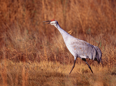 Single Sandhill crane on berm with straw colored grasses in background at Bosque del Apache National Wildlife Refuge, Socorro, New Mexico.