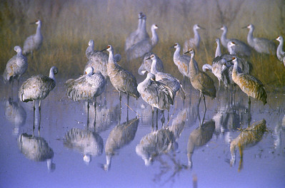 Painterly mist shrouds a preening flock of Sandhill Cranes before a sunrise take off at Bosque del Apache National Wildlife Refuge, Socorro, New Mexico.